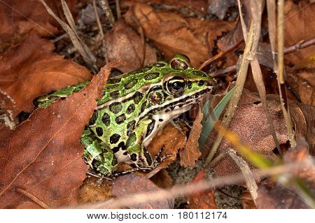 Northern Leopard Frog hiding in leaf litter