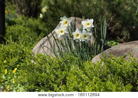 White daffodils in a bed with evergreen box and stones garden landscape design in spring copy space selected focus