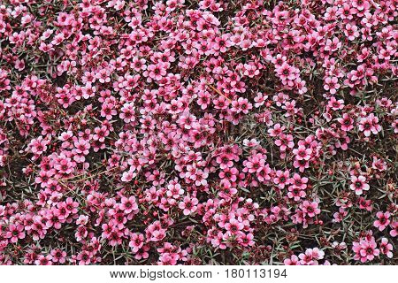 Numerous small pink flowers of the hybrid Australian tea tree Leptospermum fill the frame