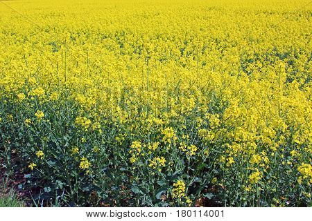 Blooming rapeseed field in summer in Saxony Germany