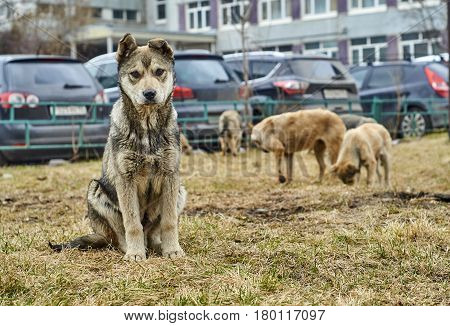 Cute homeless mongrel puppy sitting on dry grass and looking at the camera