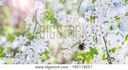 Close up bumblebee on cherry blossoms in spring with sun and bokeh