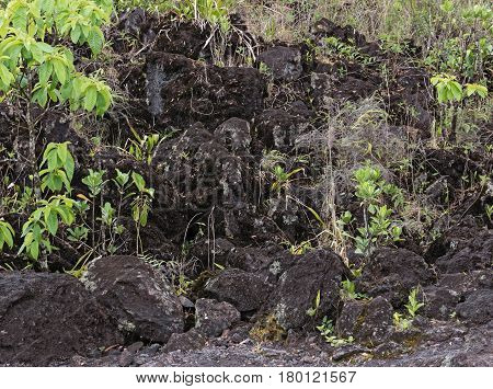 Pioneer plants on a lava field at el arenal in Costa Rica