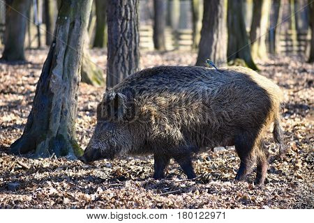 Animal - Wild Boar In The Wild.