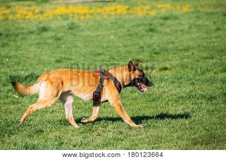 Malinois Dog Walking Outdoors In Green Summer Grass At Training. Well-raised And Trained Belgian Malinois Are Usually Active, Intelligent, Friendly, Protective, Alert And Hard-working.