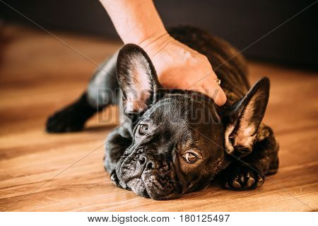 Young Black French Bulldog Dog Puppy With White Spot Sitting On Laminate Floor Indoor Home. Woman Is Stroking A Puppy.