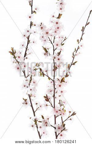 Cherry Plum twig on white background (Prunus cerasifera Nigra)