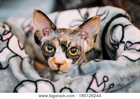 Hairess Sphynx Cat Kitten Snugly Wrapped In A Blanket. Cat Known For Its Lack Of Coat Fur.