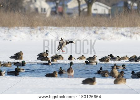 A flock of Mallard ducks in the winter