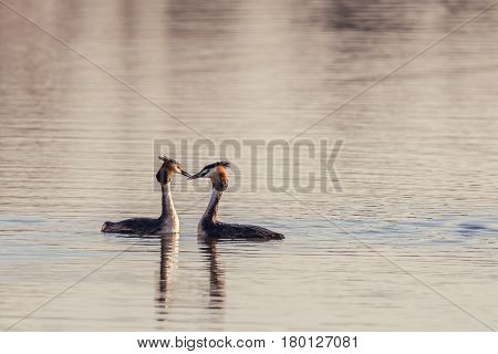 Nice Pair Of Great Crested Grebe Birds On Pond