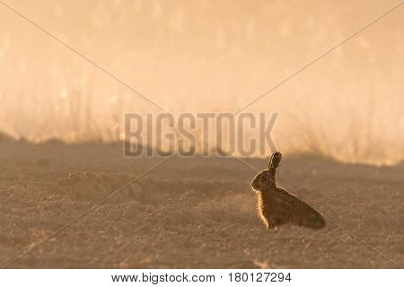 Wild Hare In Morning Backlight On Field With Fog
