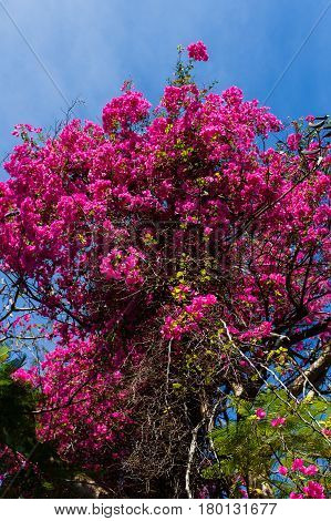 Photo of flowering rosewood on background of clear sky