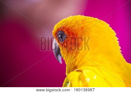 closeup head of Sun Conure the beautiful yellow and orange parrot bird with nice feathers