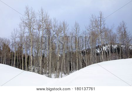 aspen trees in the wasatch mountains on a snow packed hill