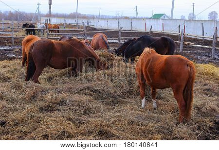 Beautiful and graceful animals on the ranch Horses stand in a circle and feed on hay. Near the fence.