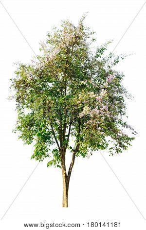 Tree ( Lagerstroemia Speciosa ) Isolated On White Background