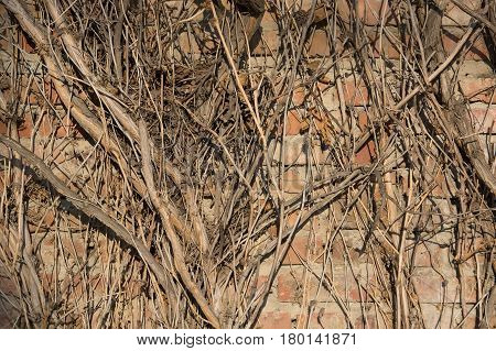 Closeup branches of dry creeping tree covering old brick wall