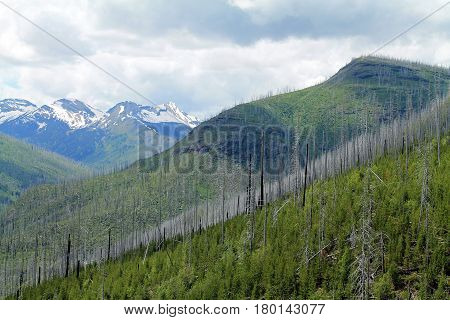 Line of Dead Trees from Forest Fire on a Green Mountainside