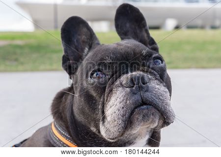 Black french bulldog, looking up pitiful. Big funny ears turning the head, asking for food