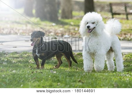 Beautiful two dogs in the park possing