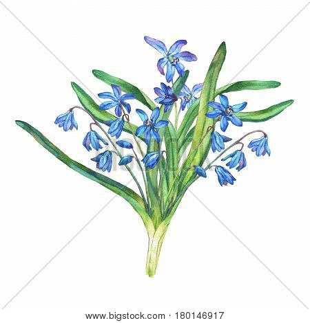 Bouquet of Scilla bifolia blue forest flowers. Hand drawn watercolor painting on white background.