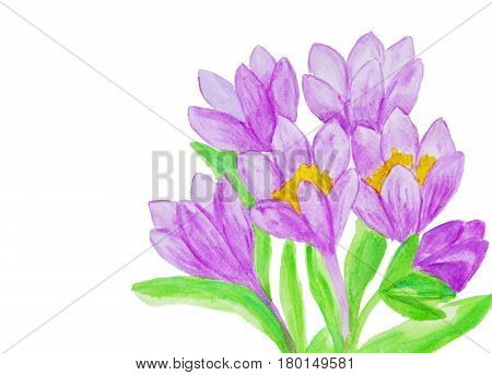 Illustration painting watercolor - few purple colour crocuses on white background horizontal.