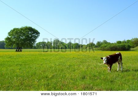 Ukrainian Countryside Landscape With Bull Calf In Spring Field In Sunset Light