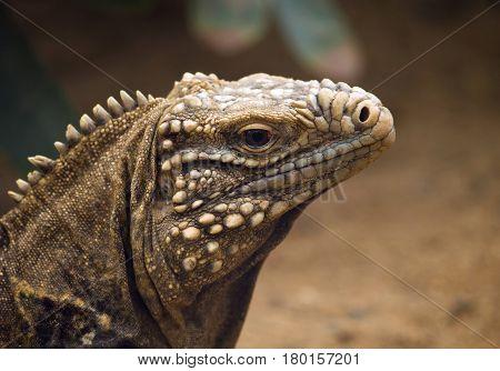 Cayman islands ground iguana - Cyclura nubira