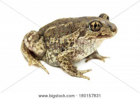Ordinary toad isolated on a white background