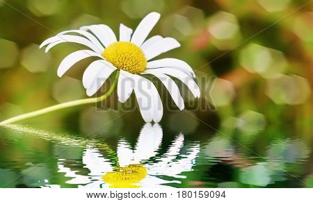Chamomile in the water. Macro selective focus.
