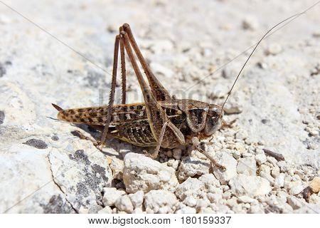 Brown grasshopper sitting on a white stones closeup