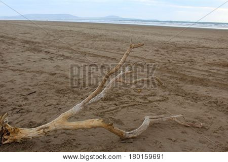 A dead tree washed up as driftwood onto a beach