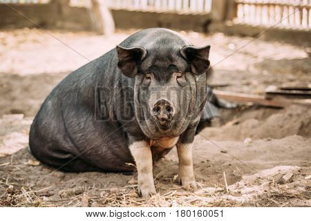 Household A Large Black Pig In Farm. Pig Farming Is Raising And Breeding Of Domestic Pigs. It Is A Branch Of Animal Husbandry. Pigs Are Raised Principally As Food pork, Bacon, Gammon .