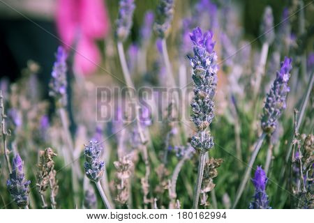 Close up view of a lavender field, scientific name Lavandula dentata
