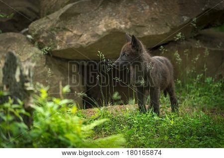 Black-Phase Grey Wolf (Canis lupus) Pup Near Den - captive animal