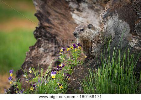 Young Woodchuck (Marmota monax) and Flowers - captive animal