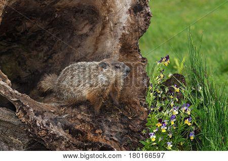 Young Woodchuck (Marmota monax) At Opening of Hollow Log - captive animal