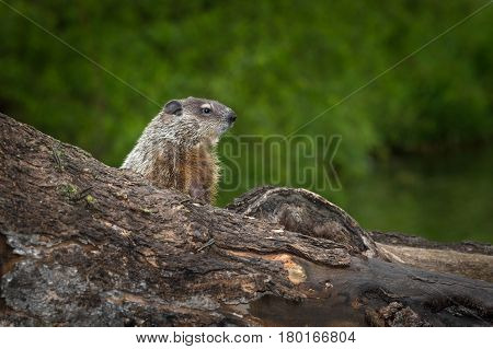 Young Woodchuck (Marmota monax) Intently Looks Right - captive animal