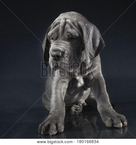 Great Dane purebred blue puppy on a dark background