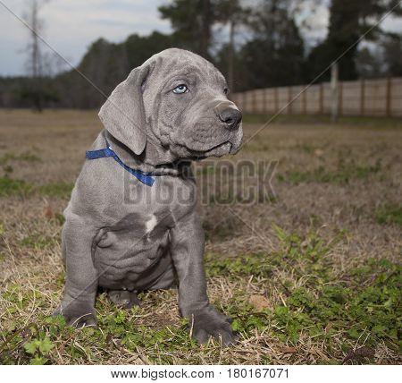 Gray Great Dane purebred puppy on a grassy field