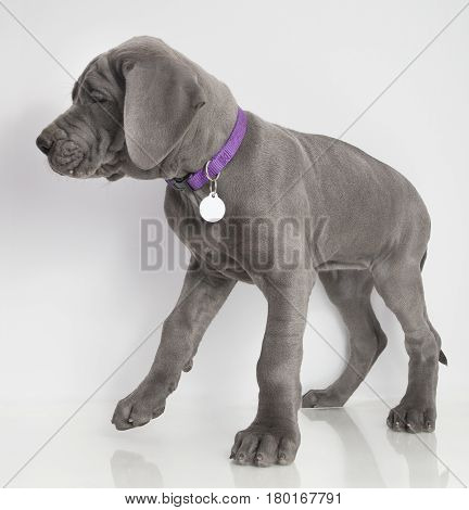 Gray Great Dane purebred puppy walking on a white background