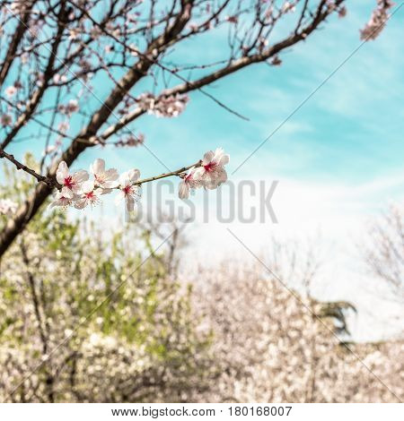 A square photo of almond trees in bloom in the Retiro park in Madrid, Spain. Selective focus on the closest branch, and a place for text