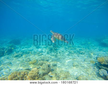 Sea turtle by sea bottom. Wild turtle swims underwater in blue tropical sea. Tortoise undersea photo. Sea turtle in natural environment. Snorkeling in tropic lagoon. Exotic island seashore animal
