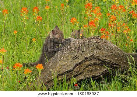Red Fox (Vulpes vulpes) Kit Climbs Up Log - captive animal
