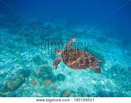 Sea animals and plants. Oceanic environment underwater photo. Sea bottom with sand and coral reef formation. Undersea scenery with sea tortoise. Green turtle in wild nature. Tropical sea lagoon image
