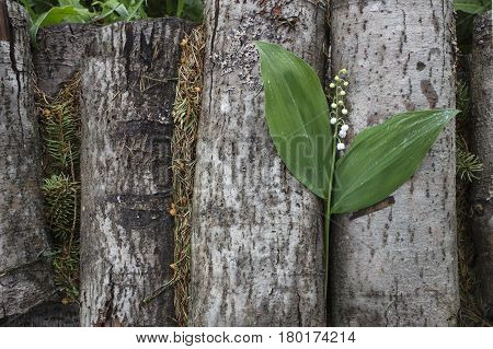 One lily of the valley lies on a woodpile