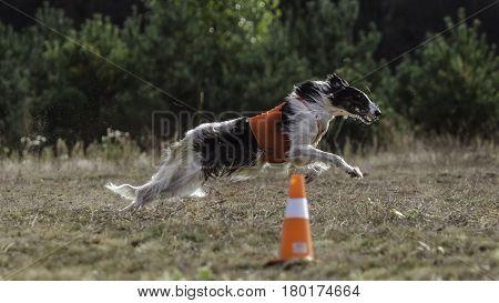 Coursing. The Race Of Russkaya Psovaya Borzaya