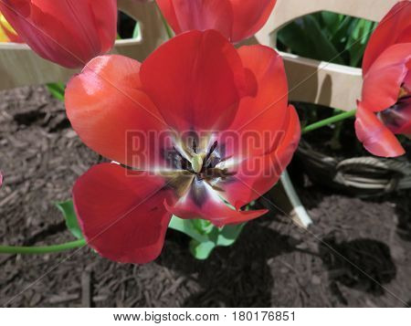 Beautiful colorful tulips brighten up any spring garden