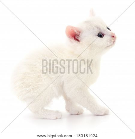 Small white chicken isolated on white background.