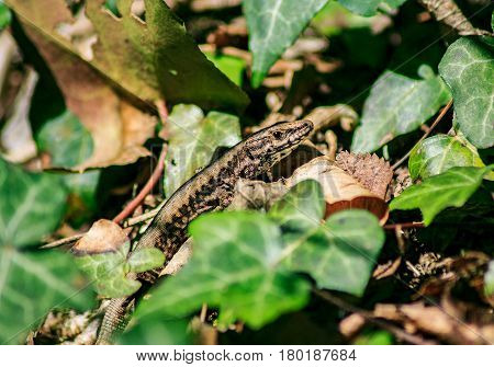 Lizard lies in the sun between the green leaves in the grass